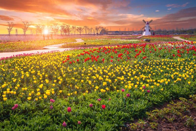 郁金香和美好的风景与日出 免版税库存图片