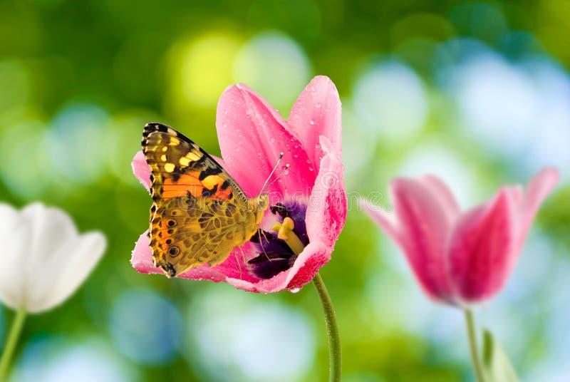 郁金香和蝴蝶在庭院里 免版税库存图片