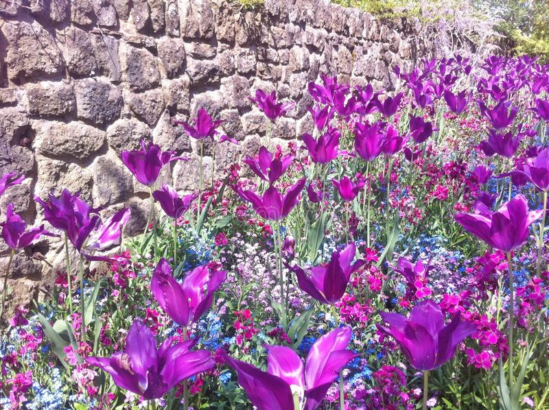 郁金香和lilly花 在领域的美丽的花 免版税库存照片