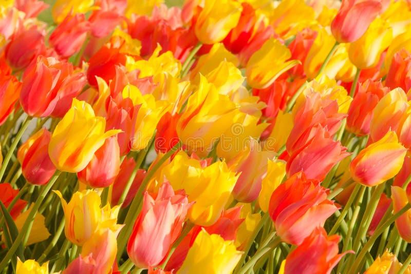 郁金香在华盛顿公园 免版税库存图片