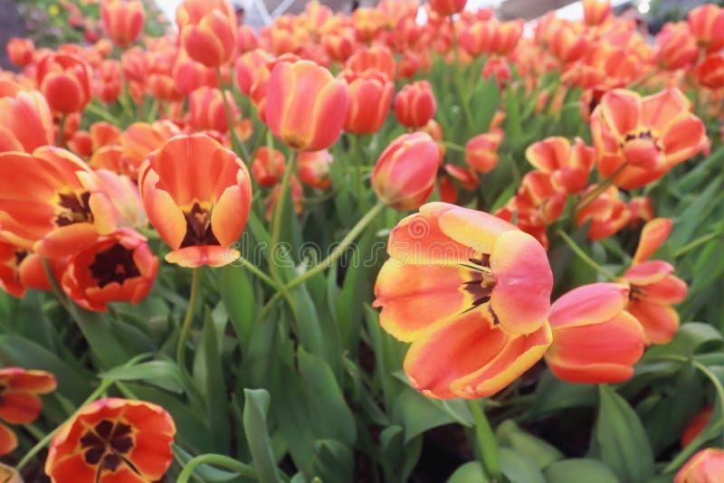 郁金香在庭院里开花 库存照片