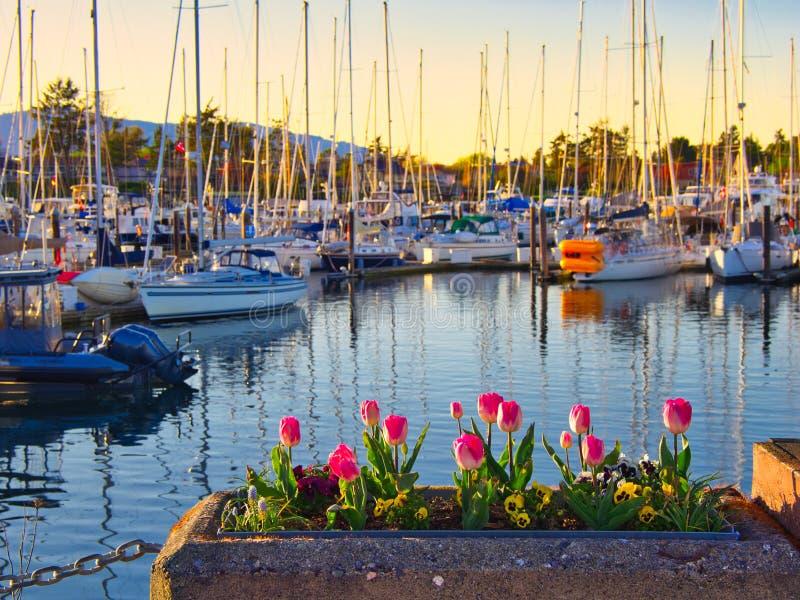 郁金香在悉尼,温哥华岛,不列颠哥伦比亚省装饰海边步行 库存图片