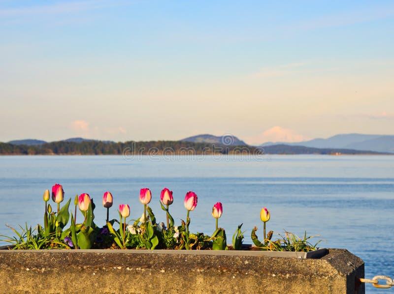郁金香在悉尼,温哥华岛,不列颠哥伦比亚省装饰海边步行 库存照片