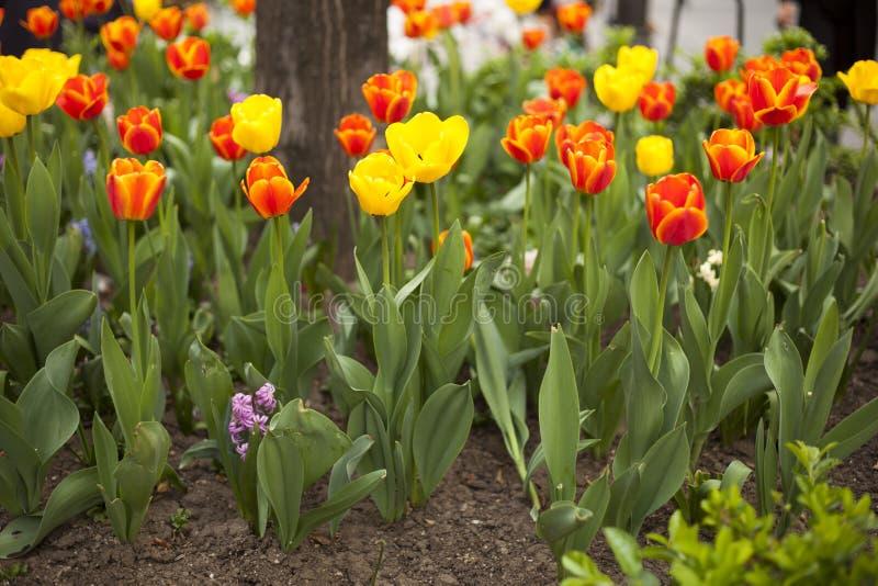 郁金香在春天 库存图片