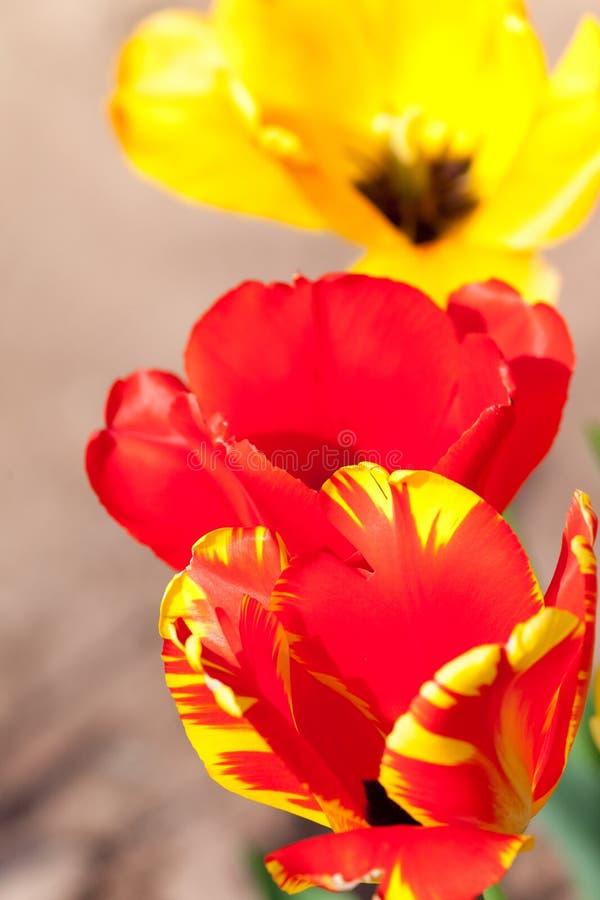 郁金香在有明亮的红颜色的庭院里开花 免版税图库摄影