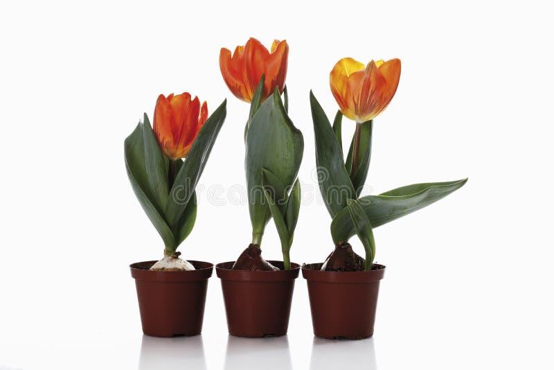 郁金香在白色背景的盆的植物中 免版税库存图片