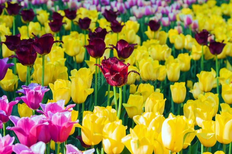 郁金香在花园Kukenhof停放,荷兰,荷兰 库存照片