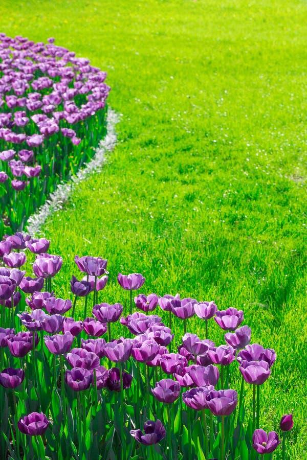 郁金香开花的花田,美好的spr的绿草草坪 免版税库存照片