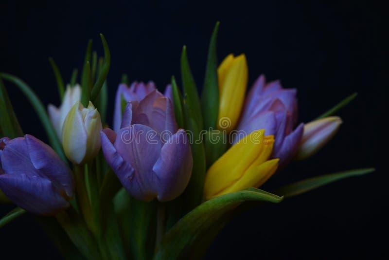 郁金香开花花束特写镜头黑色背景春天multicolors 库存图片