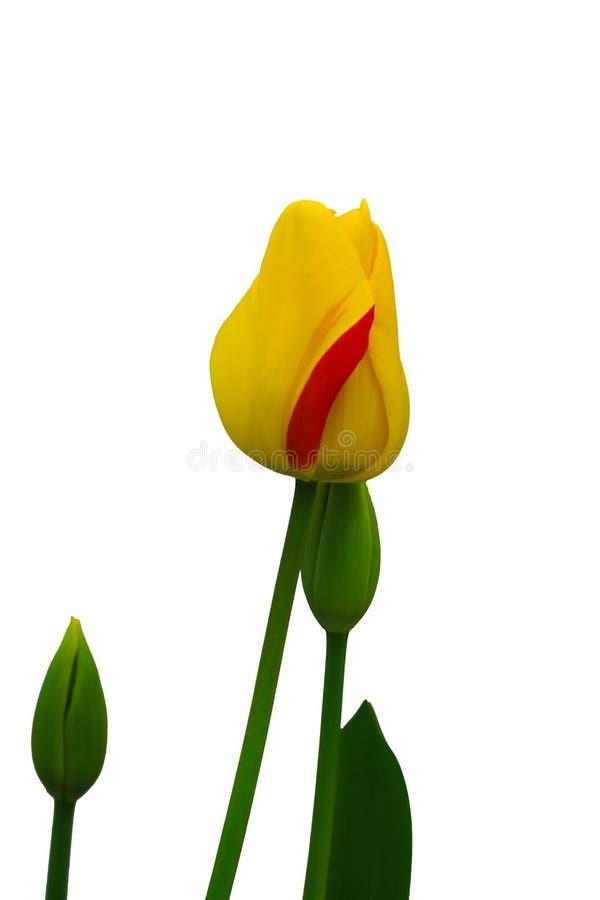 郁金香是在白色背景和看起来愉快的美丽的花 免版税库存照片