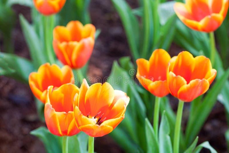 郁金香是美丽的花本质上 免版税库存图片