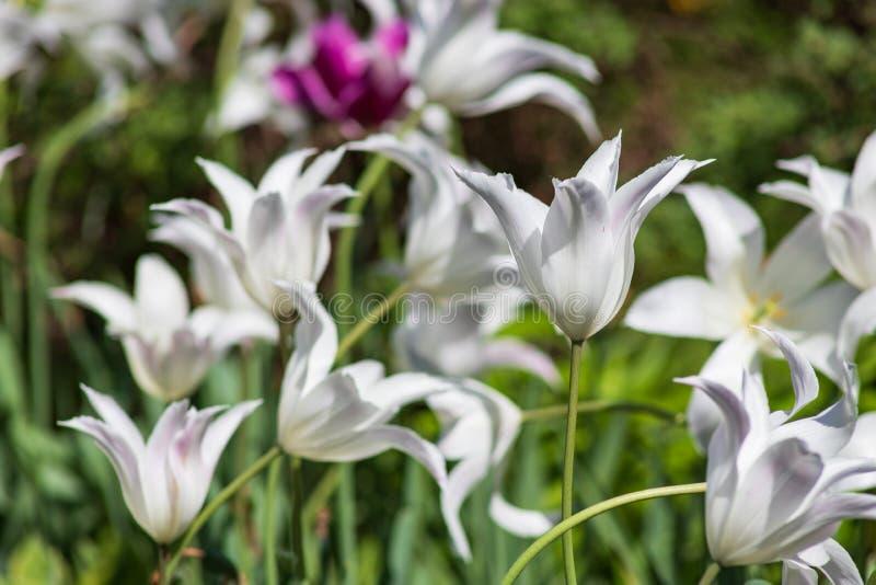 郁金香瓣延伸到长的弧 百合开花的郁金香 库存照片