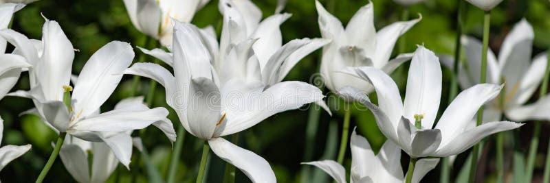 郁金香瓣延伸到长的弧 百合开花的郁金香 免版税库存图片