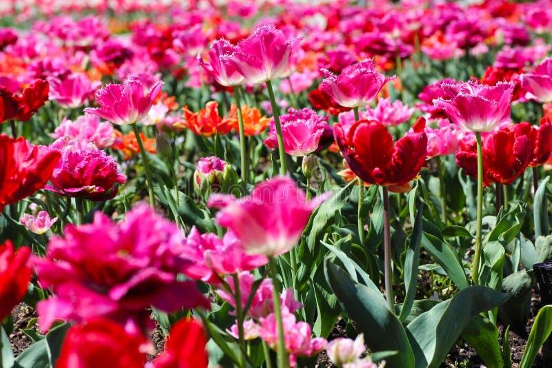 郁金香的一个桃红色领域 免版税库存照片