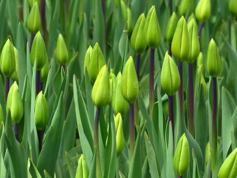 郁金香的芽与新鲜的绿色叶子的在被弄脏的背景的柔光 在春季的郁金香绽放在公园庭院里 库存图片