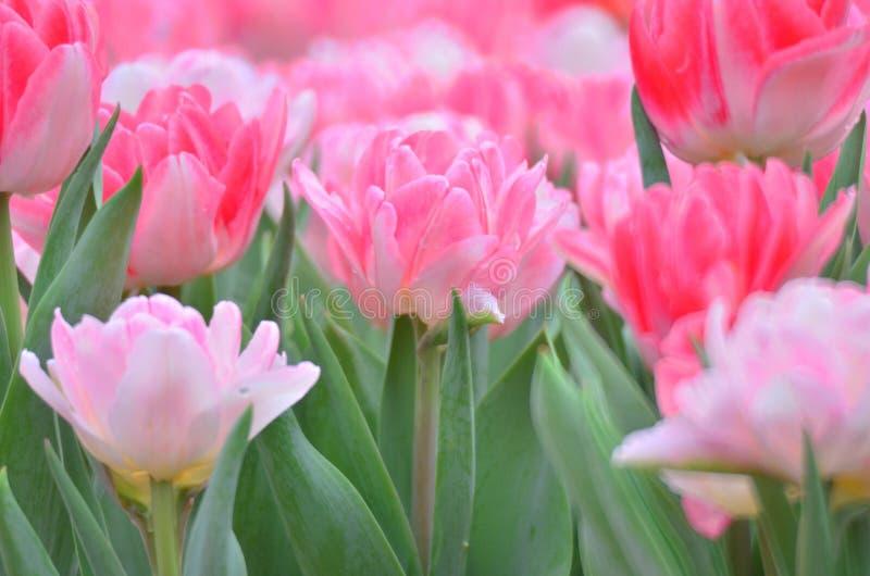 Download 郁金香 库存照片. 图片 包括有 郁金香, 红色, 颜色, budd, 春天, 水平, 户外, 图象, 摄影 - 30257534