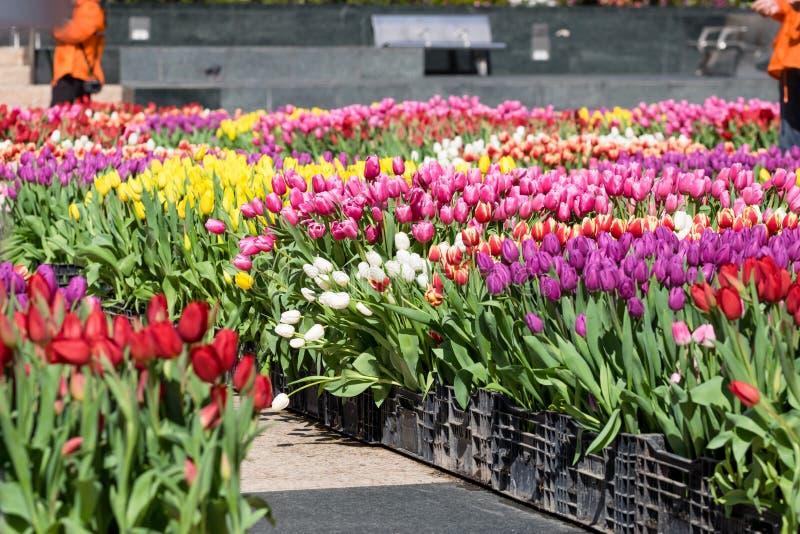 郁金香的领域-与Yelllow口音的桔子,黄色,紫色, 库存照片