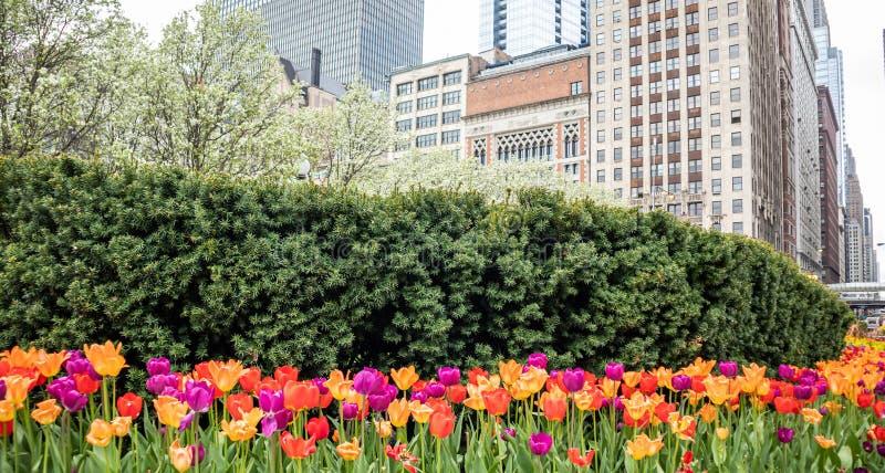 郁金香背景,春日在公园,芝加哥,伊利诺伊 库存图片