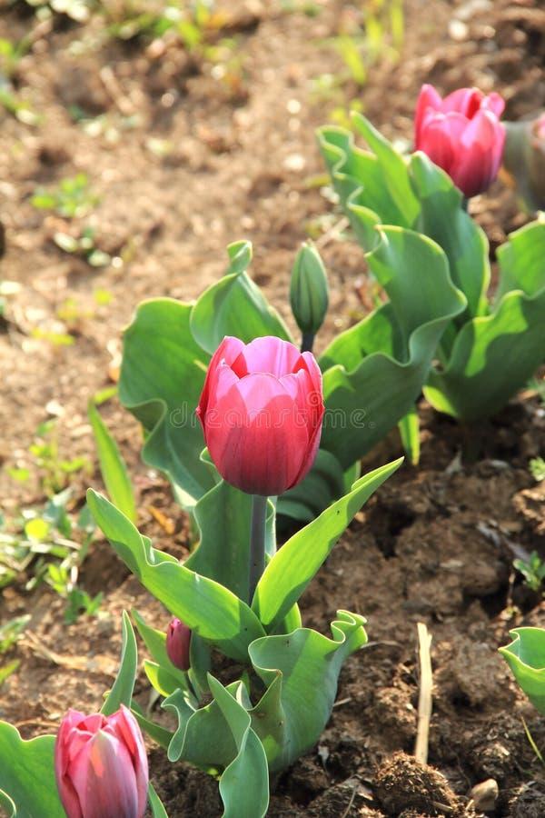 郁金香花。 库存照片