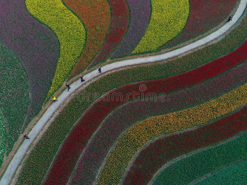 郁金香花和多彩多姿的曲调空中照片  皇族释放例证