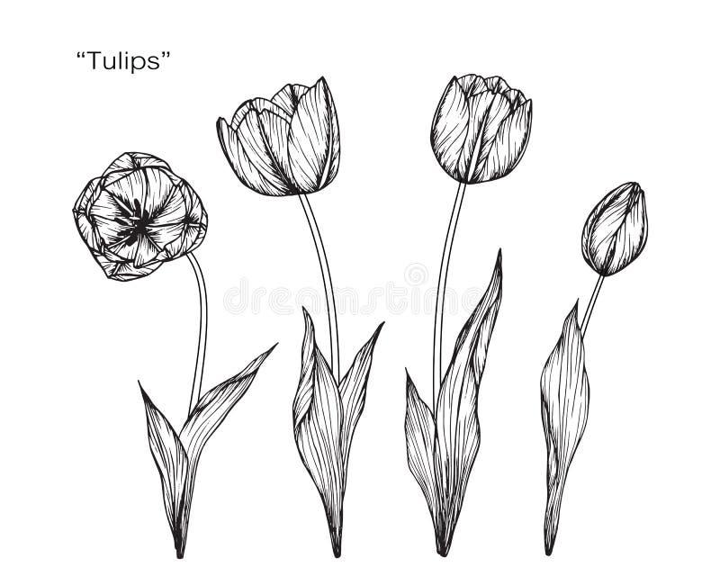 郁金香花图画和剪影 向量例证