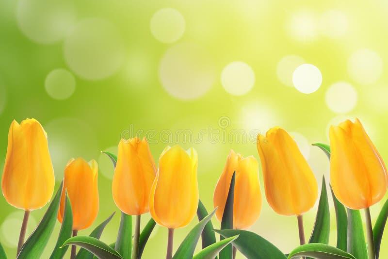 郁金香花圃 库存照片