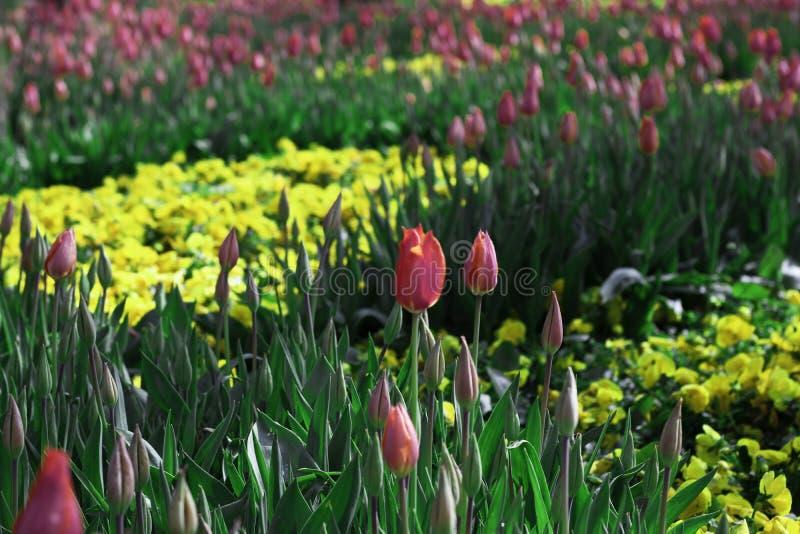 郁金香花在不同颜色的在庭院里 库存照片