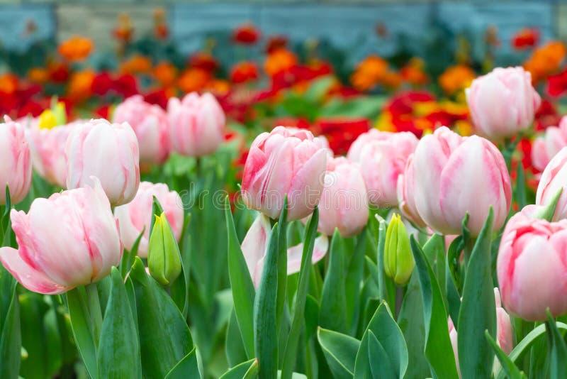 郁金香花在庭院里 桃红色和红色 免版税图库摄影