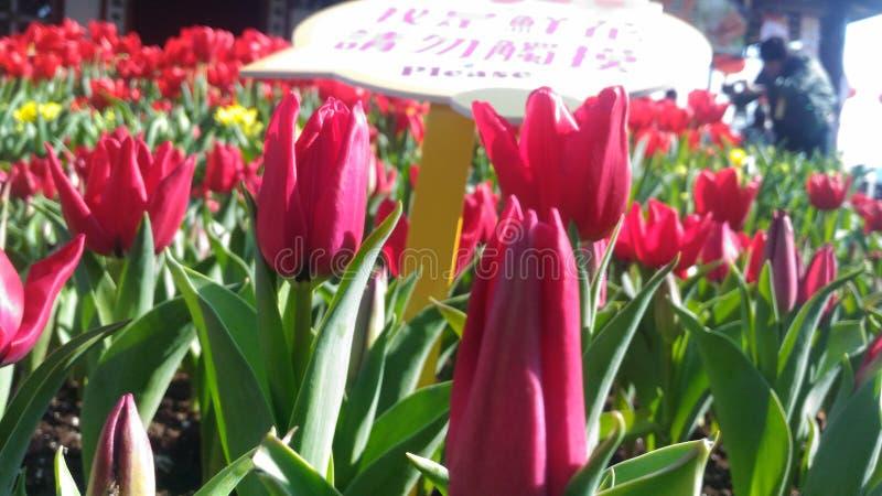 郁金香花在花莲公园 库存照片