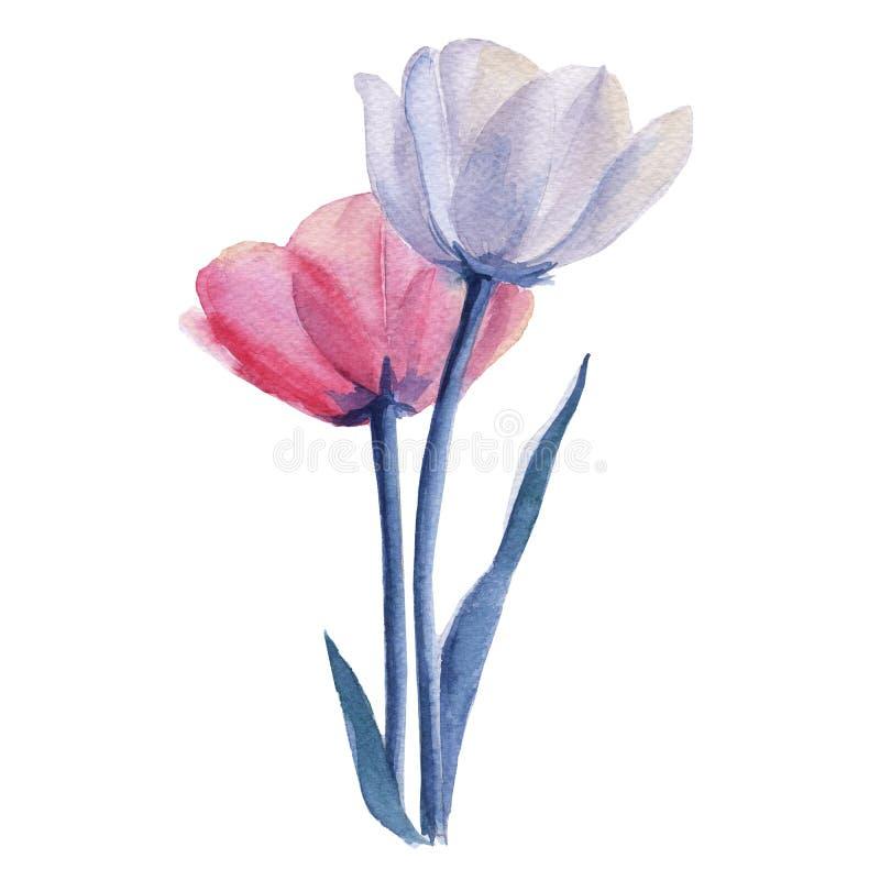 郁金香花束 背景查出的白色 库存例证