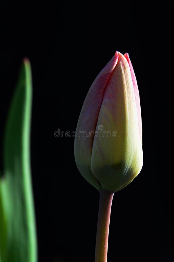 郁金香花的闭合的唯一春天芽在黑暗的背景的 库存图片