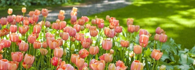 郁金香花背景,五颜六色的郁金香草甸自然在春天,关闭 库存照片