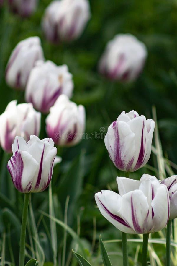 郁金香花背景,五颜六色的郁金香草甸自然在春天,关闭 免版税库存图片