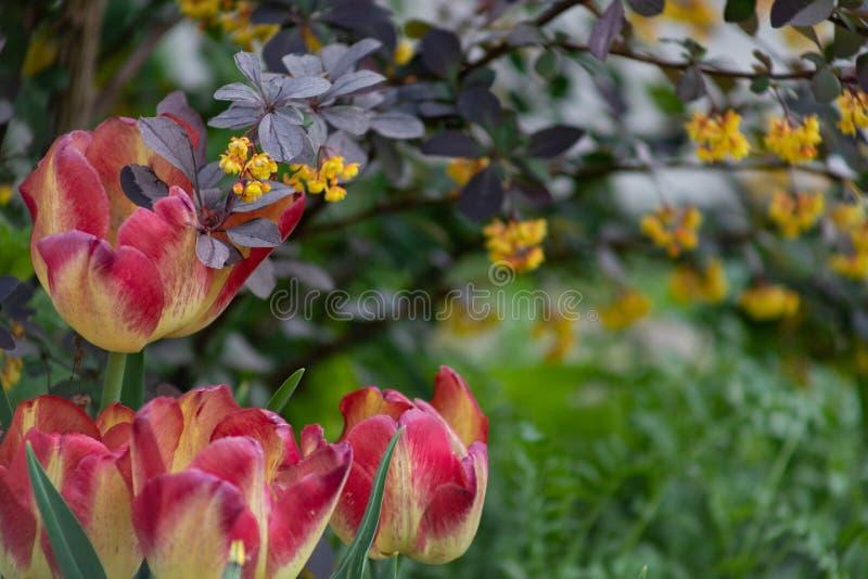 郁金香花背景,五颜六色的郁金香草甸自然在春天,关闭 免版税图库摄影