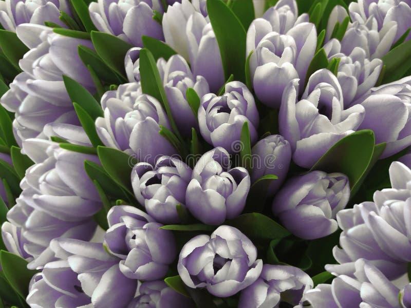 郁金香花 白紫罗兰色郁金香花束  与花郁金香的春天背景 特写镜头 向量例证