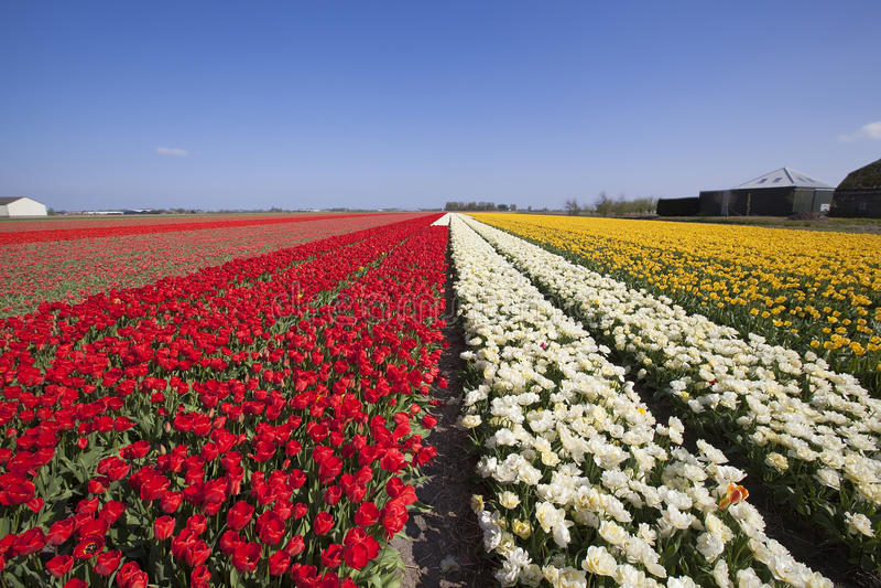 郁金香领域在利瑟和Keukenhof附近的荷兰。 免版税库存照片