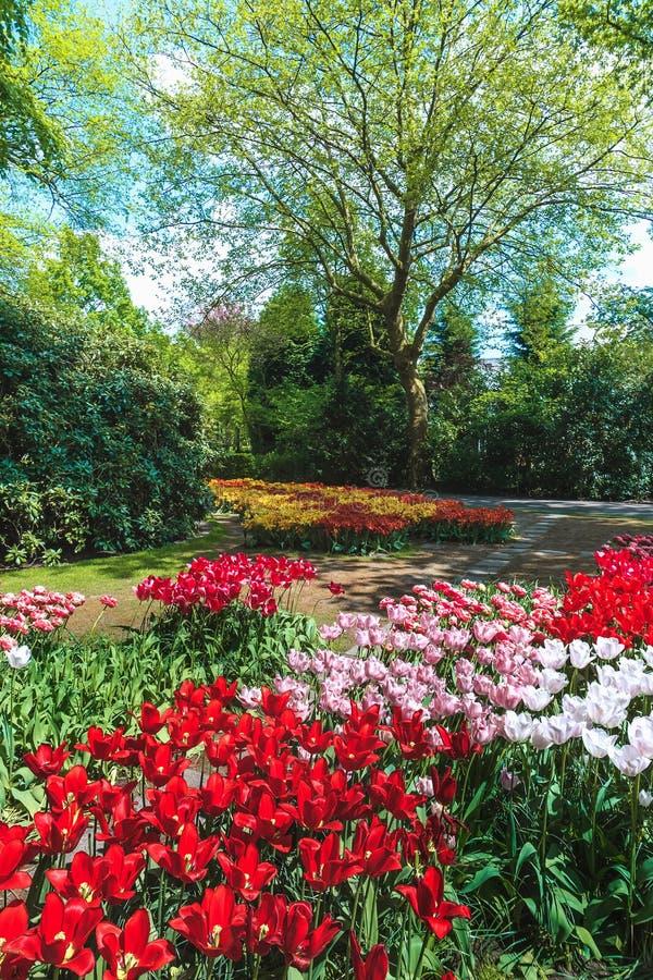 郁金香领域在Keukenhof庭院里,利瑟,荷兰 图库摄影