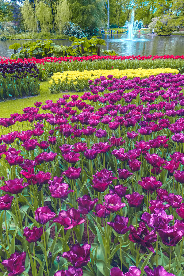 郁金香领域在Keukenhof庭院里,利瑟,荷兰 免版税库存照片