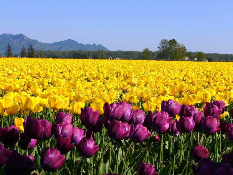 Download 郁金香黄色 库存图片. 图片 包括有 增长, 颜色, 种植者, 工厂, 黄色, 生动, 春天, 郁金香, 紫色 - 185433