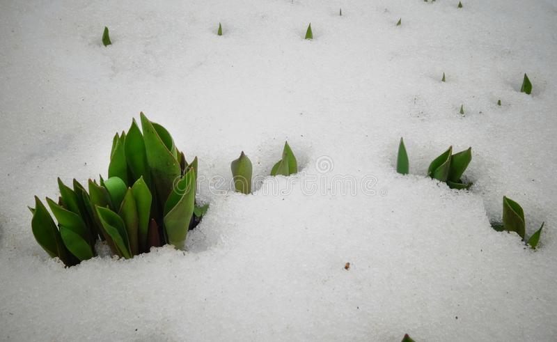 郁金香,春天从雪下面开花新芽 免版税图库摄影