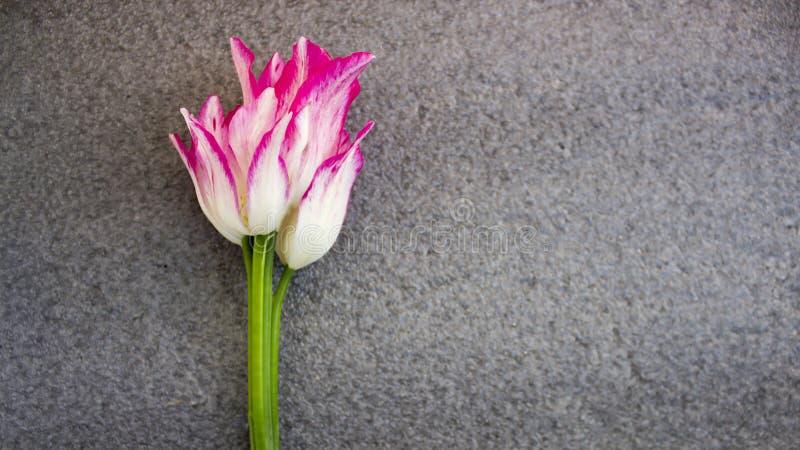 郁金香,白色桃红色,在灰色背景 免版税库存照片