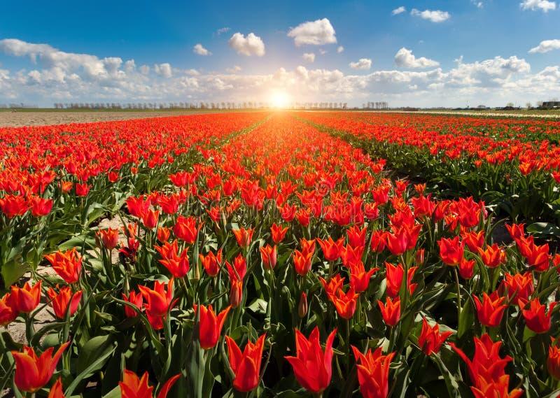 郁金香 美丽的五颜六色的红色花早晨在春天,充满活力的花卉背景,花田在荷兰 免版税库存照片