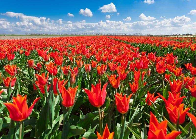 郁金香 美丽的五颜六色的红色花早晨在春天,充满活力的花卉背景,花田在荷兰 免版税图库摄影
