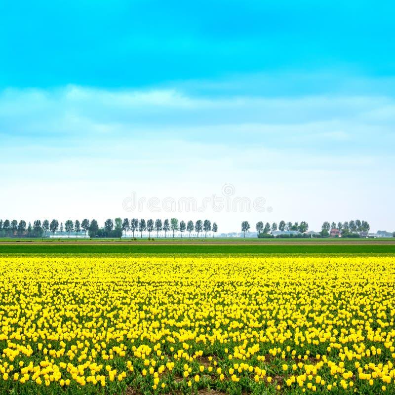 郁金香黄色blosssom花田在春天。荷兰或荷兰。 免版税库存图片