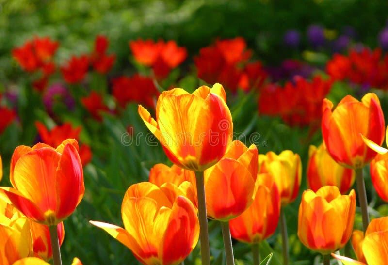 Download 郁金香 库存图片. 图片 包括有 五颜六色, beautifuler, 庭院, 墙纸, 生动, 郁金香, 本质 - 175805