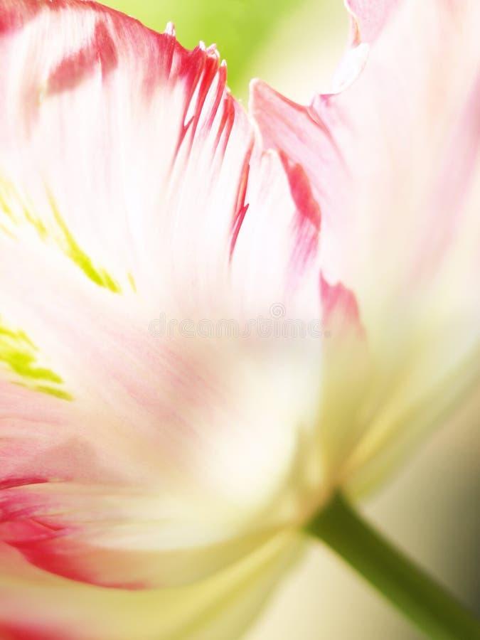 Download 郁金香(27) 库存图片. 图片 包括有 安哥拉猫, 上升了, 植物群, 庭院, 颜色, 绿色, 春天, 复制 - 30333561