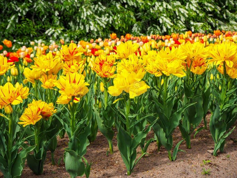 郁金香Monsella与不同颜色郁金香的芽的大黄色和红色被剥离的花花圃在背景的 免版税库存图片