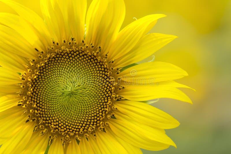部份明亮的黄色向日葵特写镜头在模糊的背景 免版税库存图片