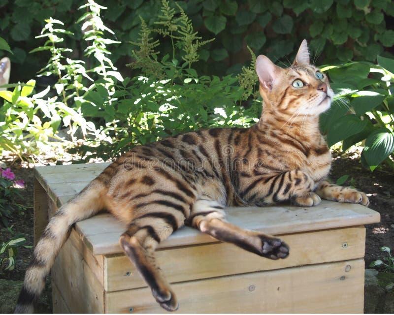 部分狂放的孟加拉猫Tiggy 免版税库存图片