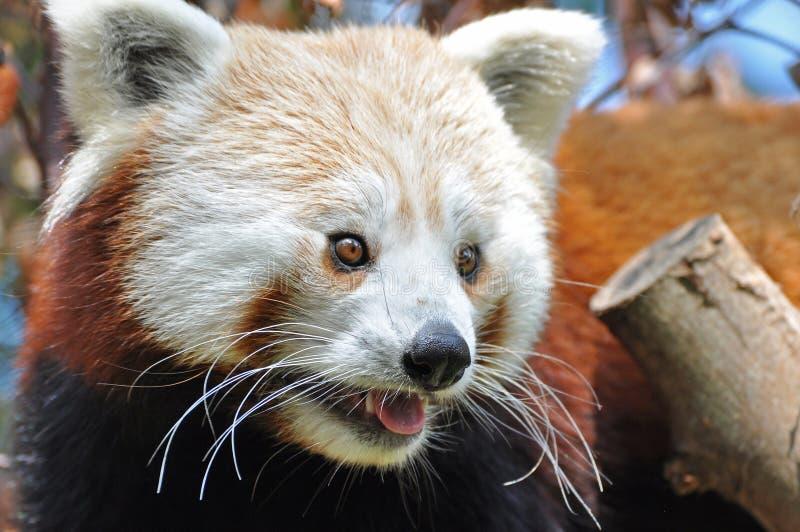 都伯林熊猫红色动物园 免版税库存图片